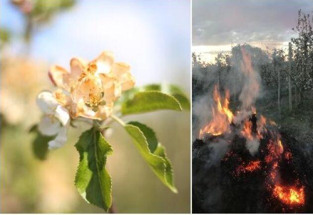 Frosten har skadat äppelblommorna på Solnäs gård utanför Lund. För att stoppa frosten eldades halmbalar hela natten på Solnäs gård utanför Lund.