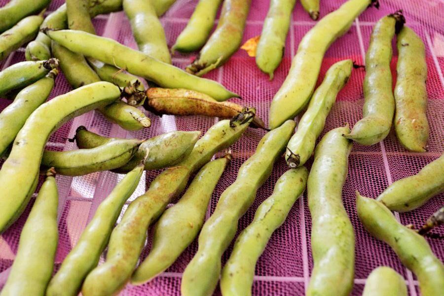 Överskott av bondbönor kan förvällas lätt och lagras i frysen men bönorna är också fina att torka på ett nät och sedan använda till falafel.