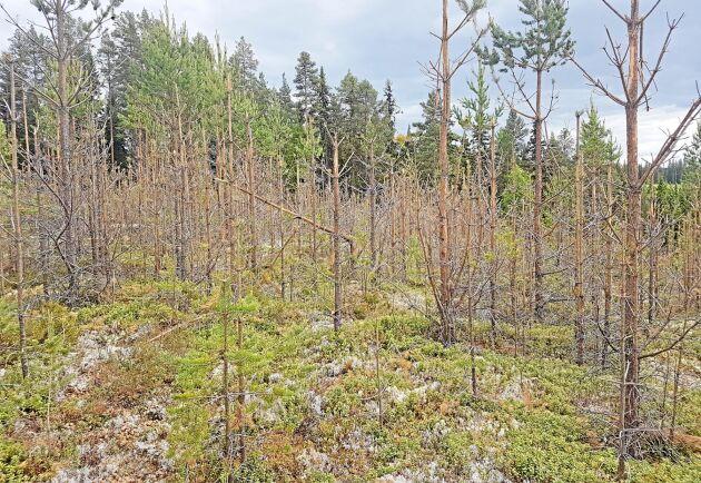 Betesskador på tallungskog i trakten kring Kramfors i Västernorrland. Arkivbild.