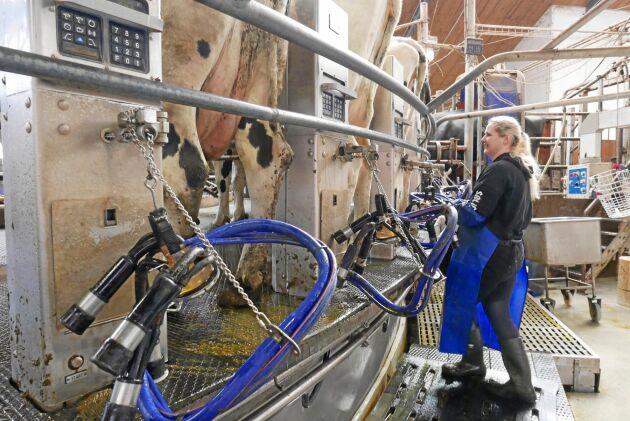 Reda Baidokaife i mjölkkarusellen. Mjölken är fortfarande stommen i Wapnö AB. Reda Baidokaife har 1250 kor som ska mjölkas.
