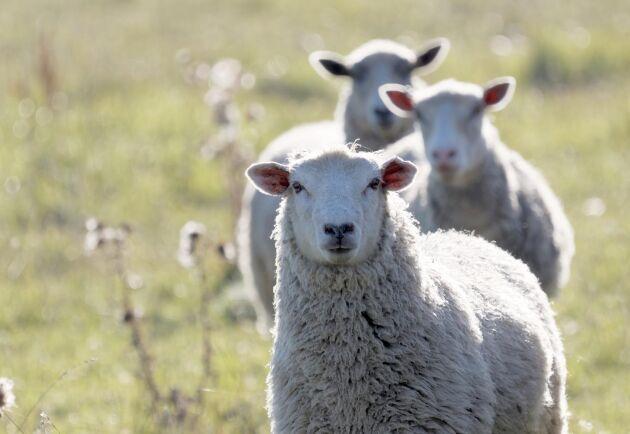 Elva lamm och två tackor har stulits från en småbrukare sedan i maj. (Arkivbild)