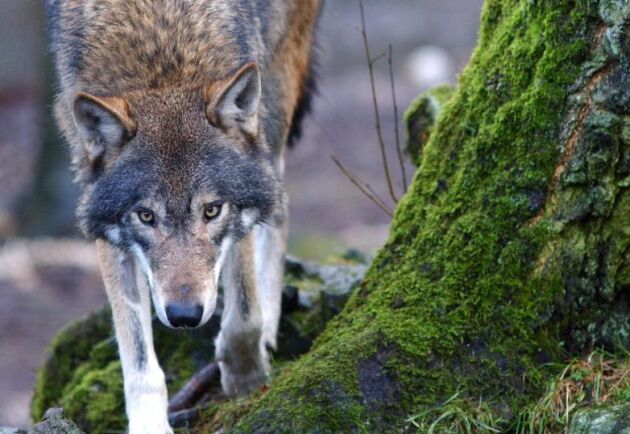 Misstankarna mot industrimannen, med kopplingar till skogsbranschen, kvarstår.