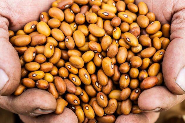 För fem år sedan var bruna bönor de enda bönorna som odlades i Sverige. Nu finns ytterligare en handfull svenskodlade sorter på marknaden.