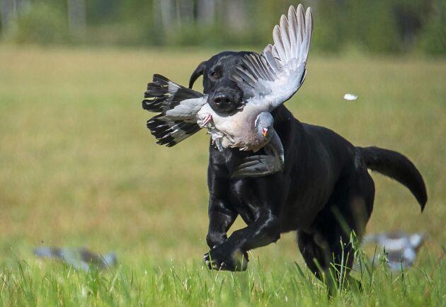 Unga labradoren Modd hittade och apporterade som om han aldrig gjort annat. Det är lag på att det ska finnas en hund som kan markera och helst apportera vid duvjakt.