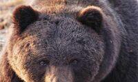 Björnen inte längre på hotlistan