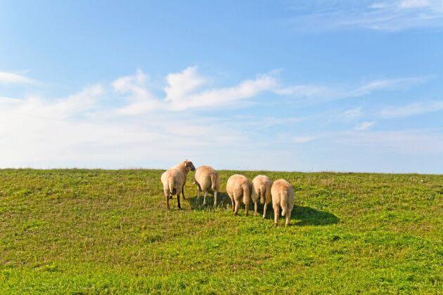 En tysk ekologisk lammgård får i genomsnitt 100 000 kronor mer i ekostöd per år jämfört med dess svenska motsvarighet.