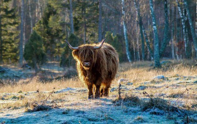Här behövs ingen överrock. Highland cattle-kon är rustad för tufft väder.