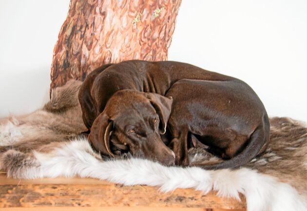 Familjen Fors Ward lever sitt liv med jakt och hundar. De har tio egna av varierande raser.