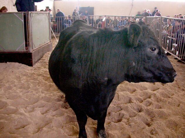 En Angustjur har i helgen sålts för 1,5 miljon dollar i USA. Det är dock inte tjuren på bilden som betingat det priset.