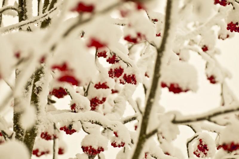 Mycket bär betyder mycket snö. Eller?