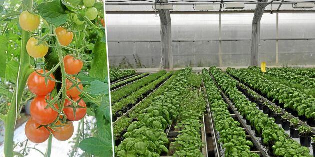 Går plus på odlingen – fast det kan vara 25 minus