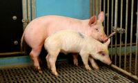 Nyupptäckt virus i svenska grisar