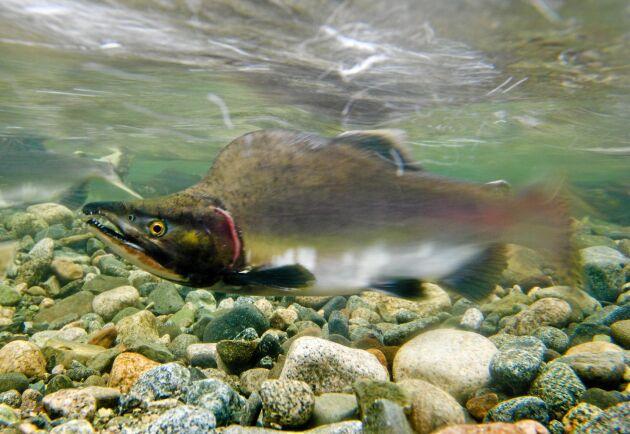 När puckellaxen går upp i åar och älvar för att leka, får hanarna en brant puckel på ryggen.