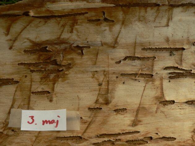 Gnag av åttatandad barkborre, granbarkborre, 3 maj.