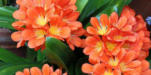 Rädda din mönjelilja! Så säkrar du blommor till våren