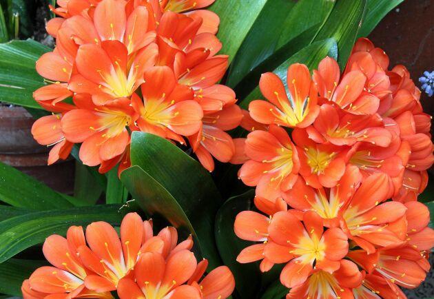 Den vackraste blomma du sett eller bara blad? Det beror på hur du sköter clivian.