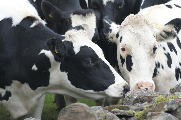 Trots att experterna menar att det är nödvändigt har Jordbruksverket inga planer på en särskild salmonellainsats på Öland. I stället planerar man att i grunden förändra rutinerna för hur salmonella hos nötkreatur ska hanteras.