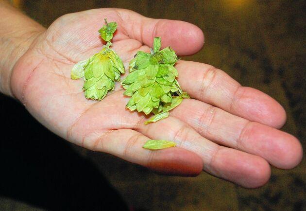 Stora mängder ekologisk öl på Systembolaget innehåller konventionell humle.