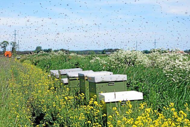 Surrigt värre. Pollinatören lyfts fram som ett lyckat projekt - och förhoppningen är att uppmärksamheten ska bidra till att höja biodlingens status.