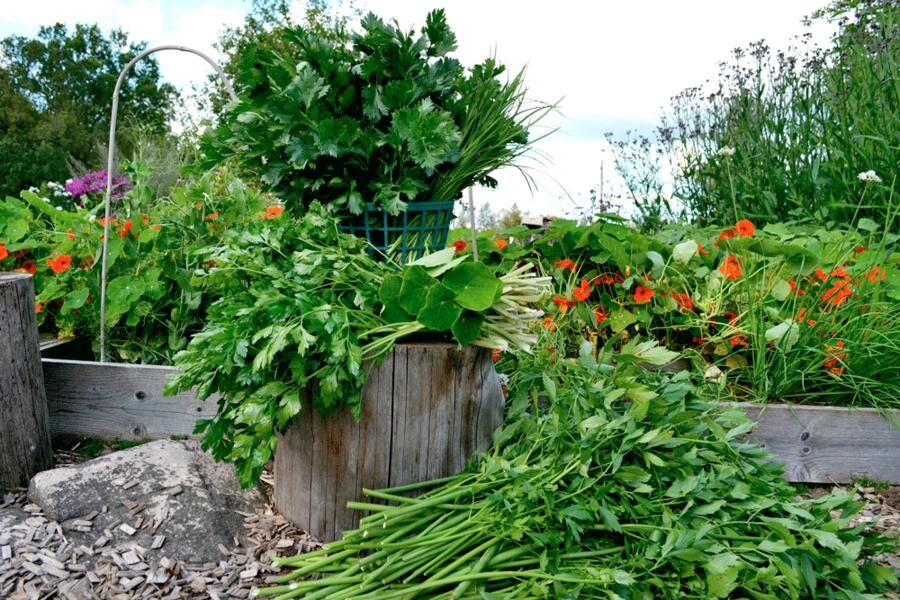 Libbsticka, krasse, persilja, selleri och gräslök. Till synes oanvändbar blast är fin att använda till grönsakssalt.
