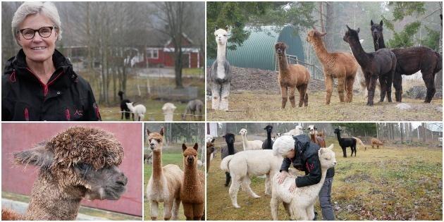 Många besökare vill ta en alpacka och gå