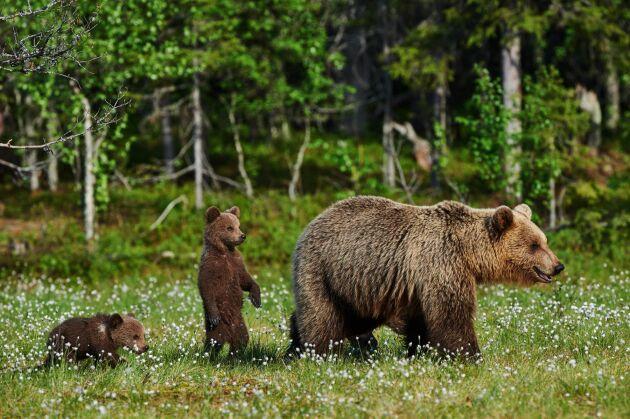 I första hand är björnarna nyfikna och vill undersöka balarna, de äter sällan upp innehållet.