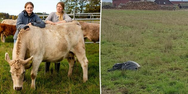 De hittade slaktrester av får – dumpade i kohagen
