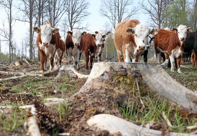 Köttkorna av angus och hereford går på hygget för att skynda på omvandlingen till bete.