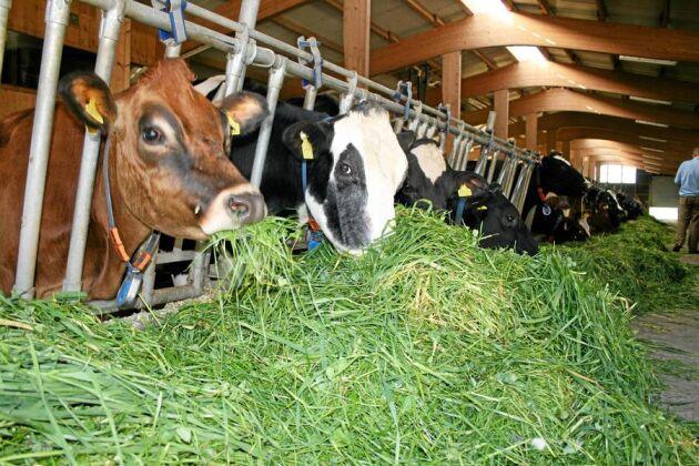 Familjerna Kolly och Pharisa slog ihop sina gårdar till en och har en av Schweiz större mjölkgårdar med 100 mjölkkor. Gräs är dagens rätt - ensilage är strikt förbjudet.