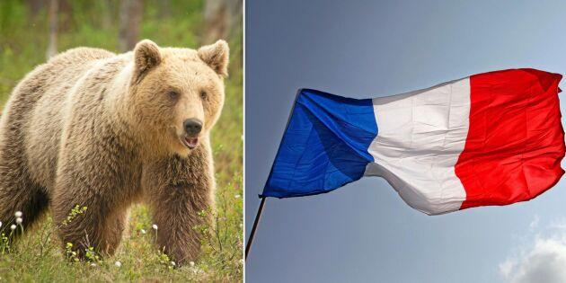 Miljöministern avgår om inte fler björnar importeras