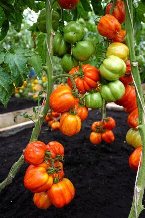 Tomat 'Striped Stuffer' ger stora snyggt strimmiga tomater.