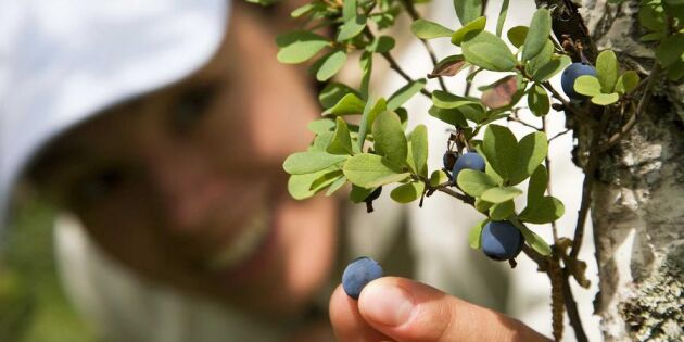 Rekordår för blåbär – kolla in Sveriges blåbärskarta