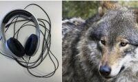 Jakthärvan: Bevis omvärderade med bättre hörlurar