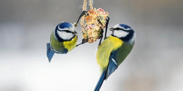 Grundkurs i fågelmatning – det ska du tänka på