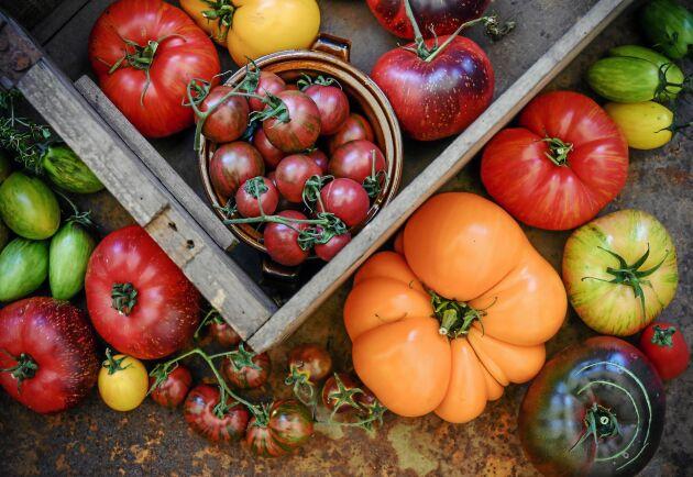 Alla dessa ljuvliga tomater i rött, gult, grönt och svart. Odla egna och njut. Den här guiden lär dig odla tomater!