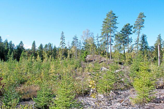 Undersökningen från Göteborgs universitet visar att antalet vedlevande skalbaggar var lika stort i de nyligen röjda granplanteringarna som i de urskogsartade nyckelbiotoperna. ARKIVBILD