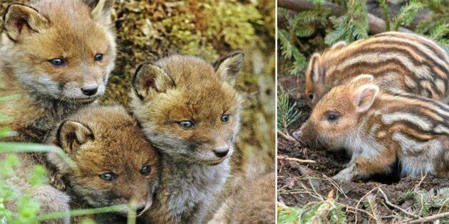 Nu föds massor av gulliga djurungar ute i naturen!