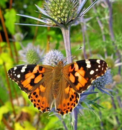 Sensommarens nykläckta tistelfjärilar är extra vackra.