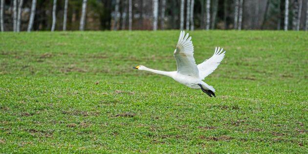 Omfattande skyddsjakt på fågel i Värmland
