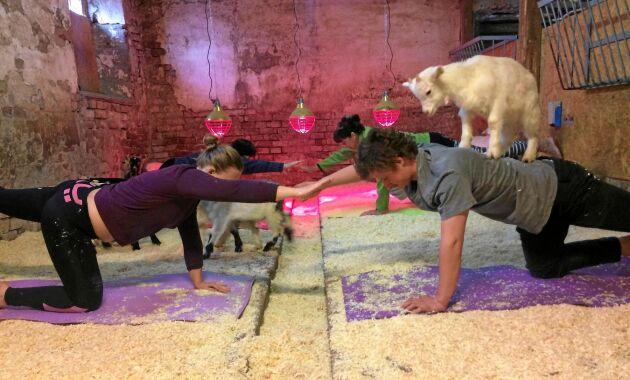 Alla kommer inte för yogan, utan för getternas skull. Getterna knuffas och nafsar lite, tuggar på håret och slickar en i ansiktet – och alla skosnören knyter de upp.
