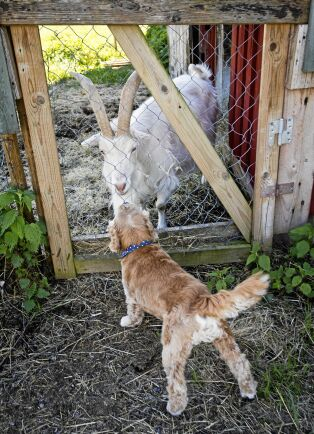 Hunden Bobby hälsar nyfiket på den ena av gårdens vita lantrasgetter.