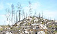 Tallplant i brandområdet drabbad av svamp