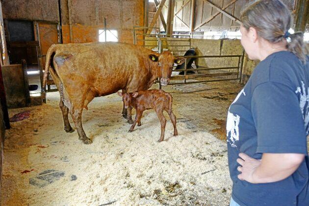 """När Land Lantbruk hälsar på har det fötts en ny kalv till en """"snöflinge""""-mönstrad ko."""