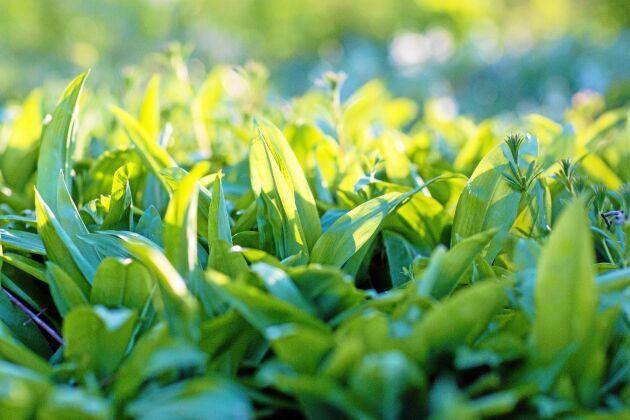 Tjocka gröna mattor av ramslök växer runt gården. Men den kan vara fridlyst, då den ofta växer i naturreservat. I Blekinge är den är fridlyst i hela länet.
