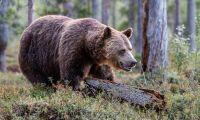 Björnar lockas med marshmallows och nutella
