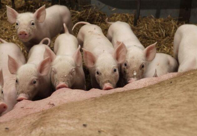 Jordbruksverkets föreskrifter blir svåra att efterleva menar SLU:s experter. Som exempel nämns att smågrisarna ska kunna avvänjas tidigare om inga beteendestörningar som flanksugning eller svansbitning uppkommer. Hur ska djurägaren kunna veta det - innan avvänjning?