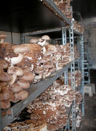 Shiitakesvampar växer till sig i ett lastbilsflak.