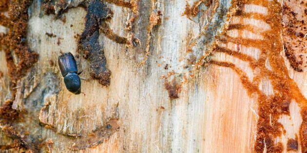 Skyddad skog inte orsak till barkborreinvasionen