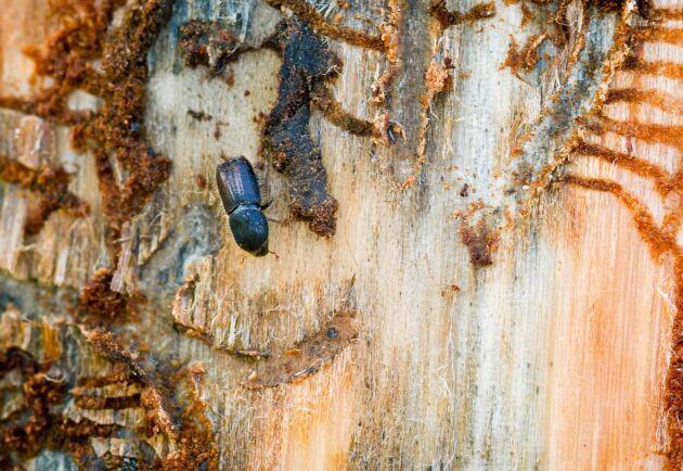 Många skogsägare har drabbats av angrepp från granbarkborre.