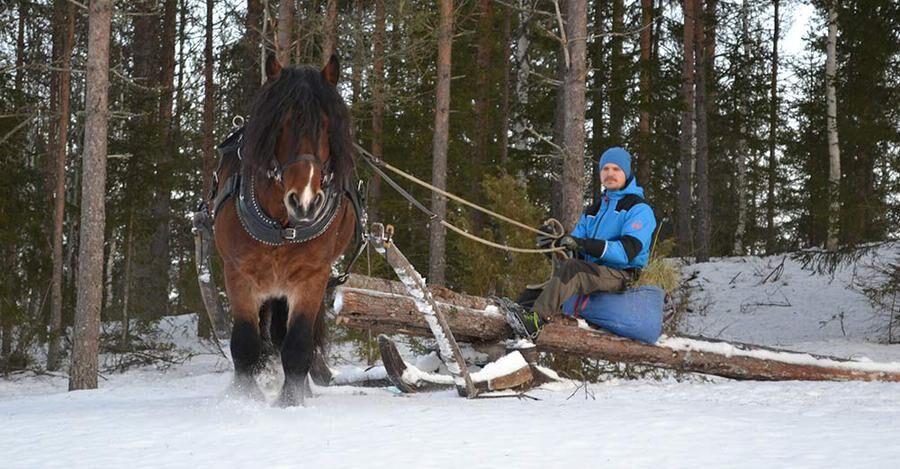 Jonas kör nordsvensken Zacke i skogen. Hästarna hjälper bland annat till att dra ut timmer ur skogarna.
